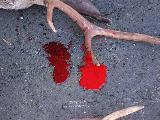 Image: Normal and freshly oxygenated blood, splattered on the horns of a buck.