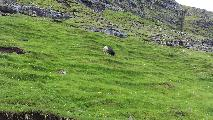 Image: A sheep grazing in the hills. Notice the tiny ledges created by 1200 years of grazing sheep.
