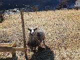 Image: The tenants keep a couple of sheep. This one's a male with an attitude.